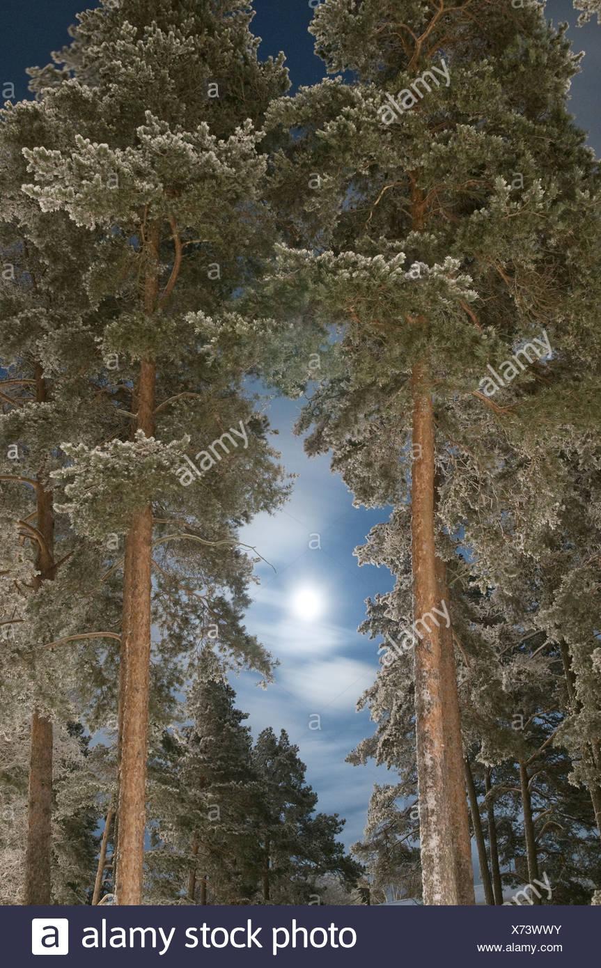 Low angle view of arbres contre la lune, sur nuit d'hiver Banque D'Images