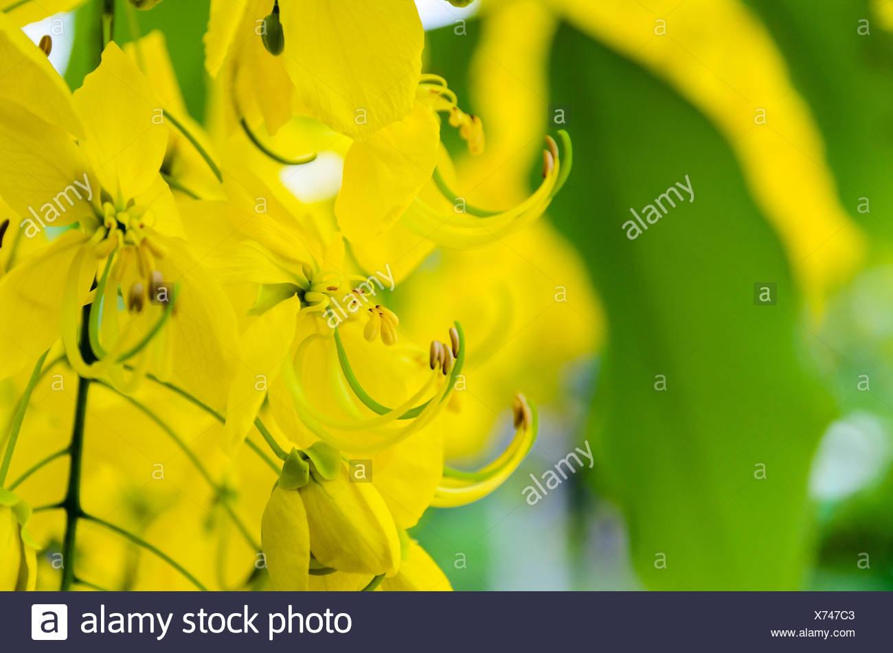 Fermer La Purge Ou Ratchaphruek Cassia Fistula Cassis Fleurs