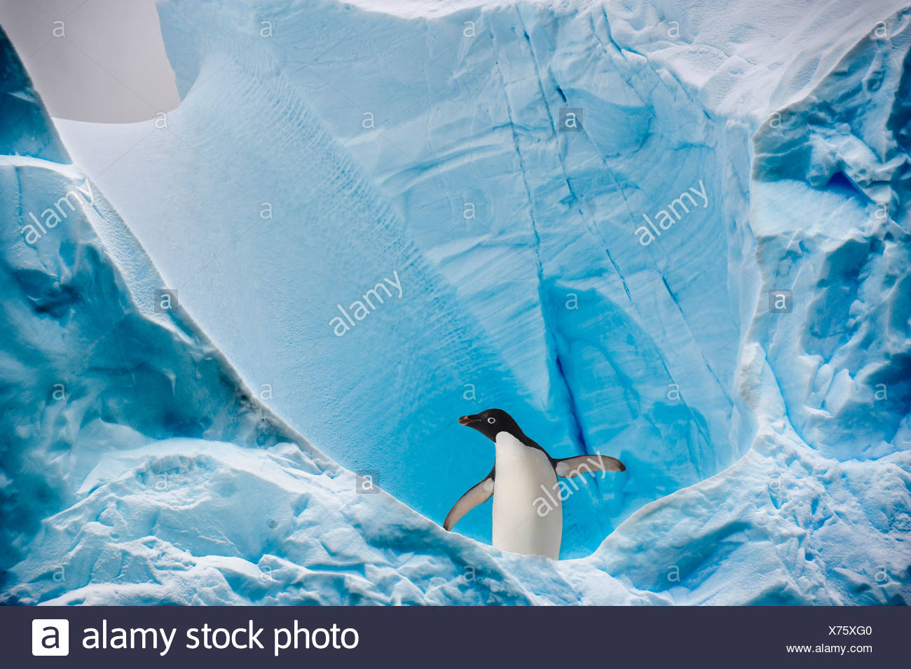 Adelie Penguin sur iceberg, Graham Passage, Péninsule Antarctique, l'Antarctique. Photo Stock