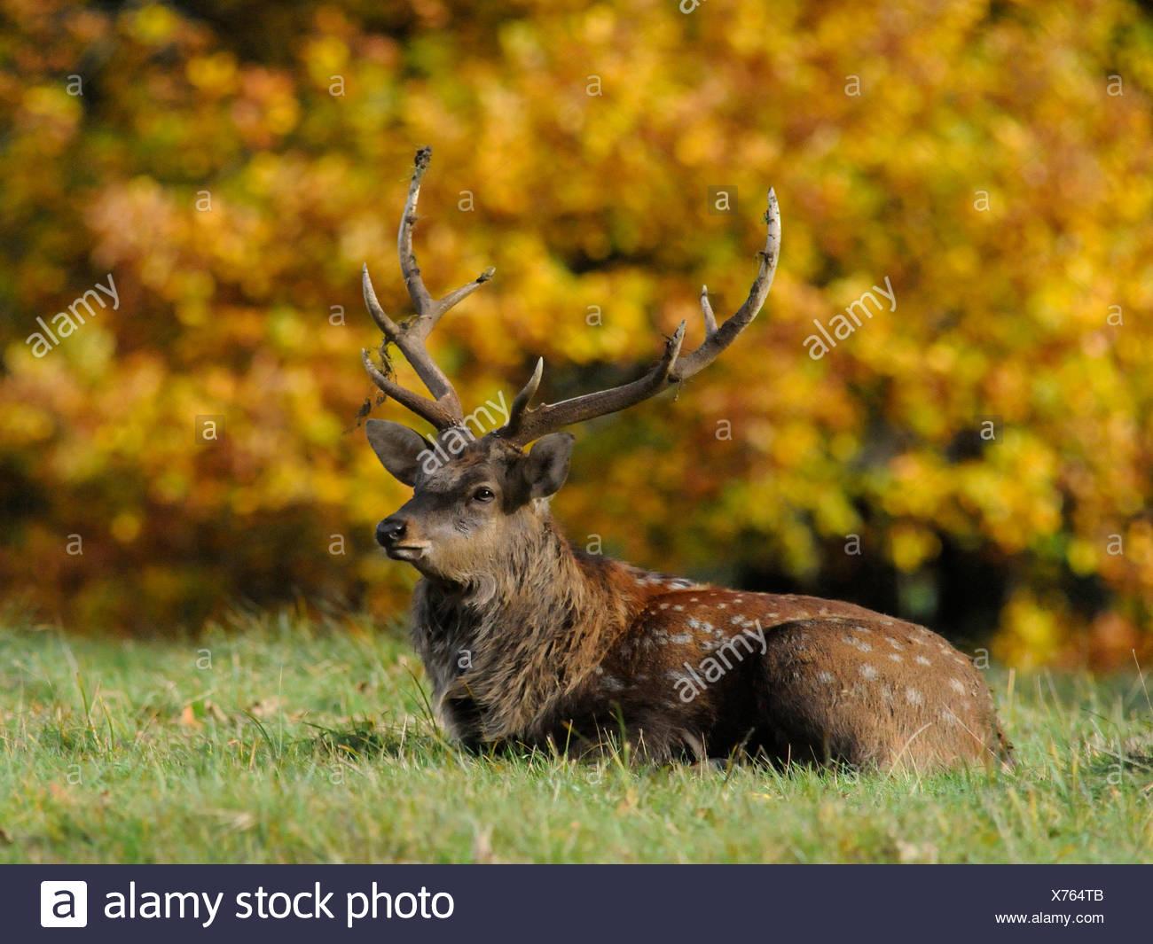 Un jeune cerf assis au feuillage de l'automne dans la campagne. Photo Stock