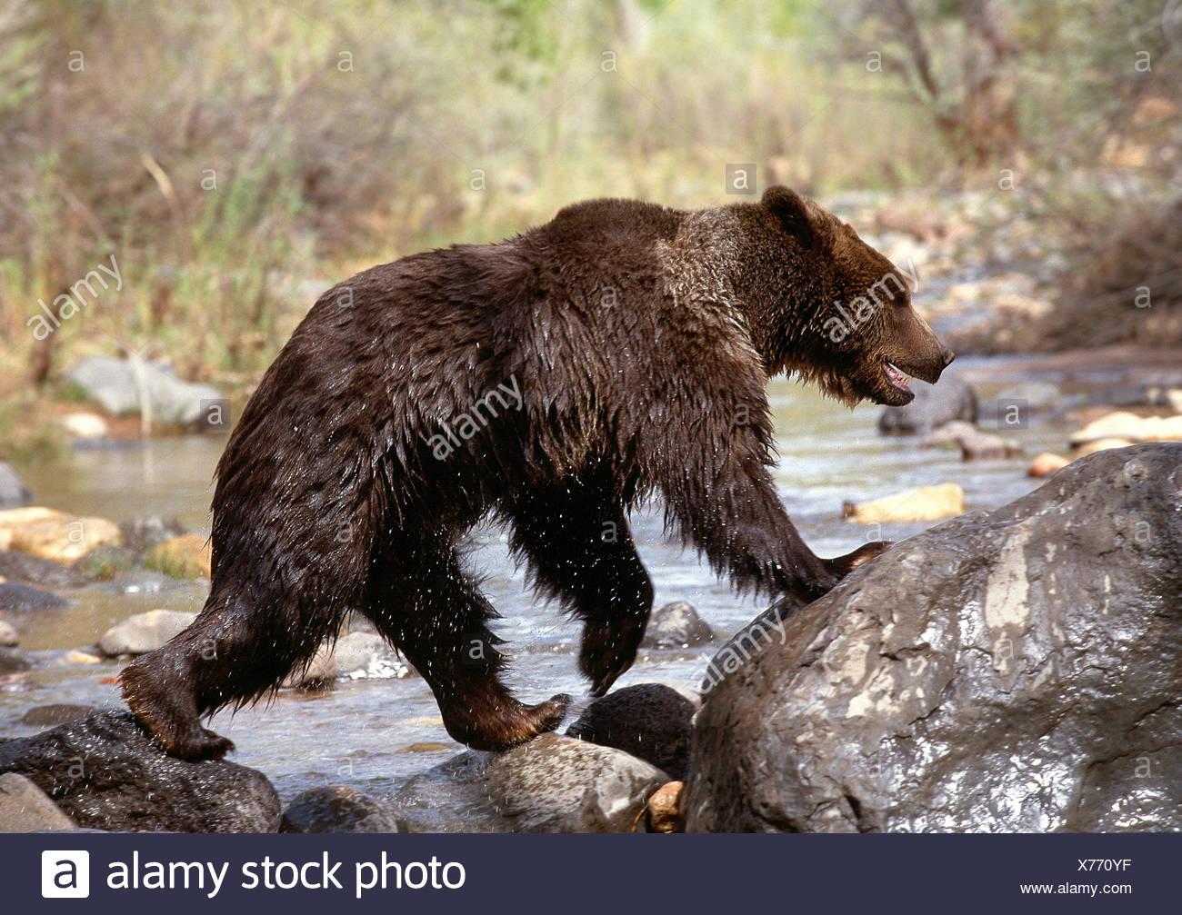 Usa. utah. la faune. grizzly traversant une rivière. Photo Stock