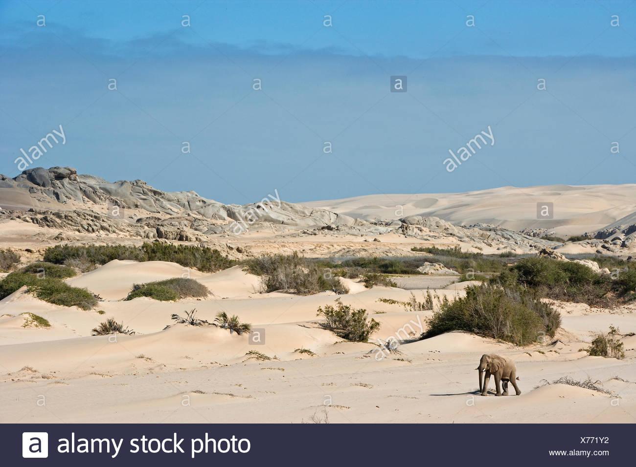 L'éléphant africain, l'éléphant du désert (Loxodonta africana africana) balades adultes le désert Namib-Skeleton Coast National Park, Namibie Photo Stock