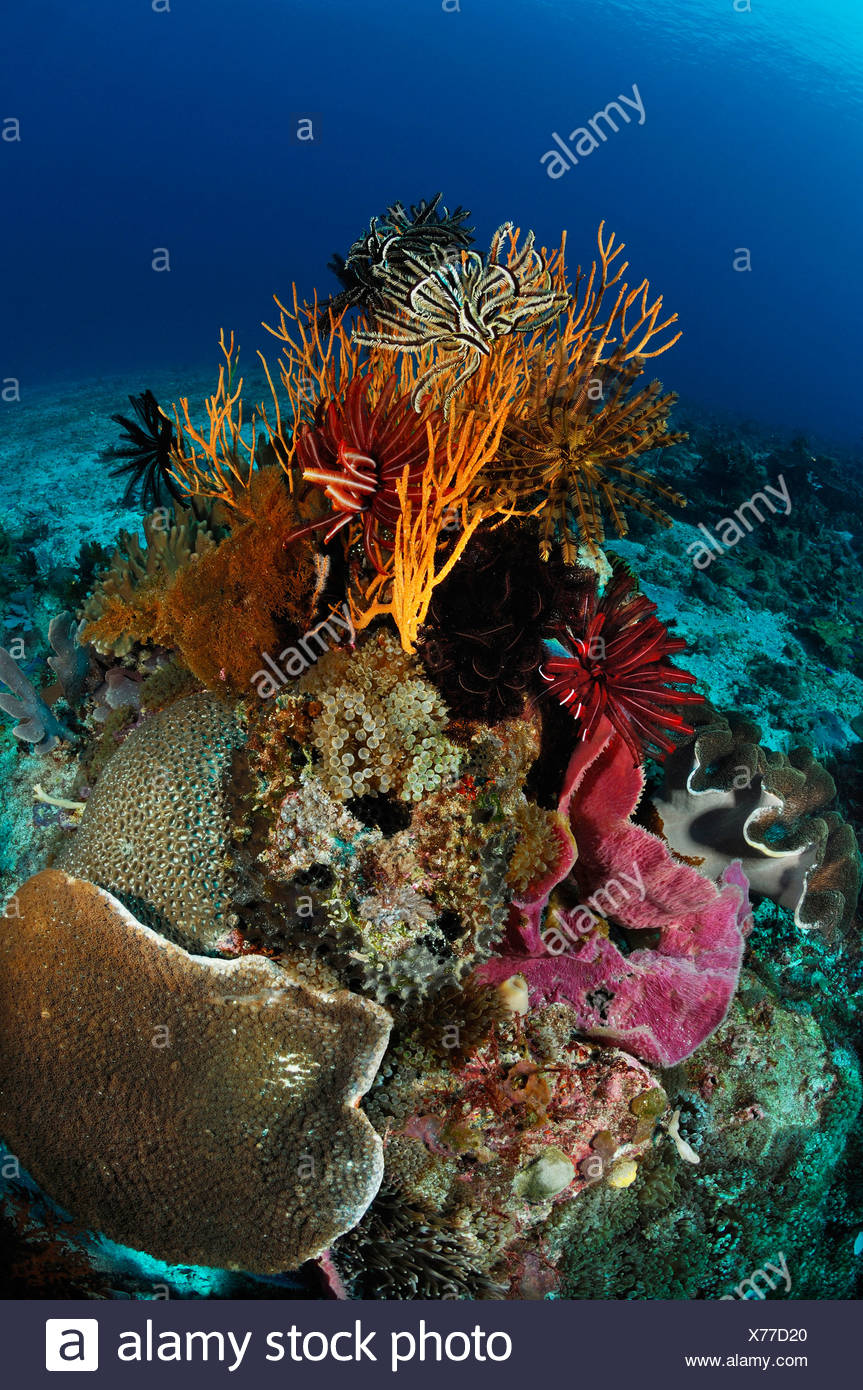 Indopacific Coral Reef, Alor, Indonésie Photo Stock