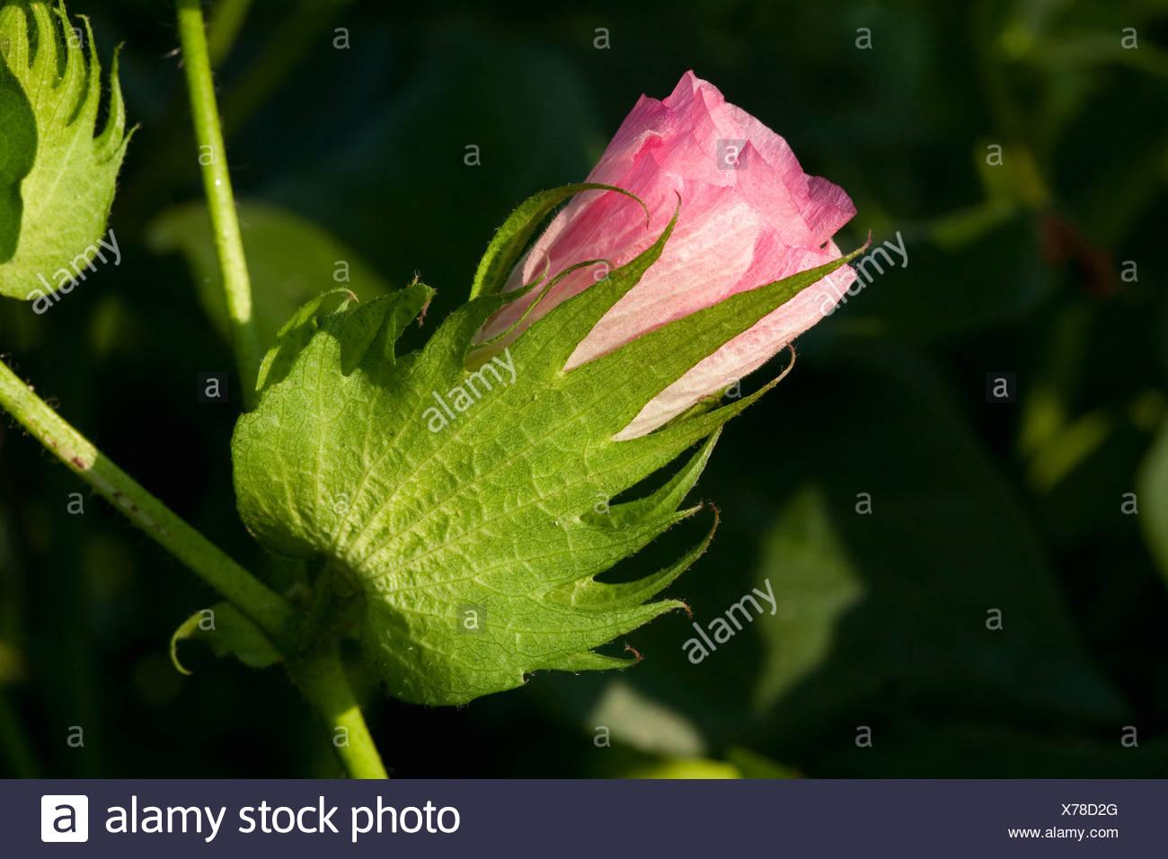 Agriculture - Closeup of a pink blossom sur une croissance moyenne de l'usine de coton / Arkansas, USA. Photo Stock