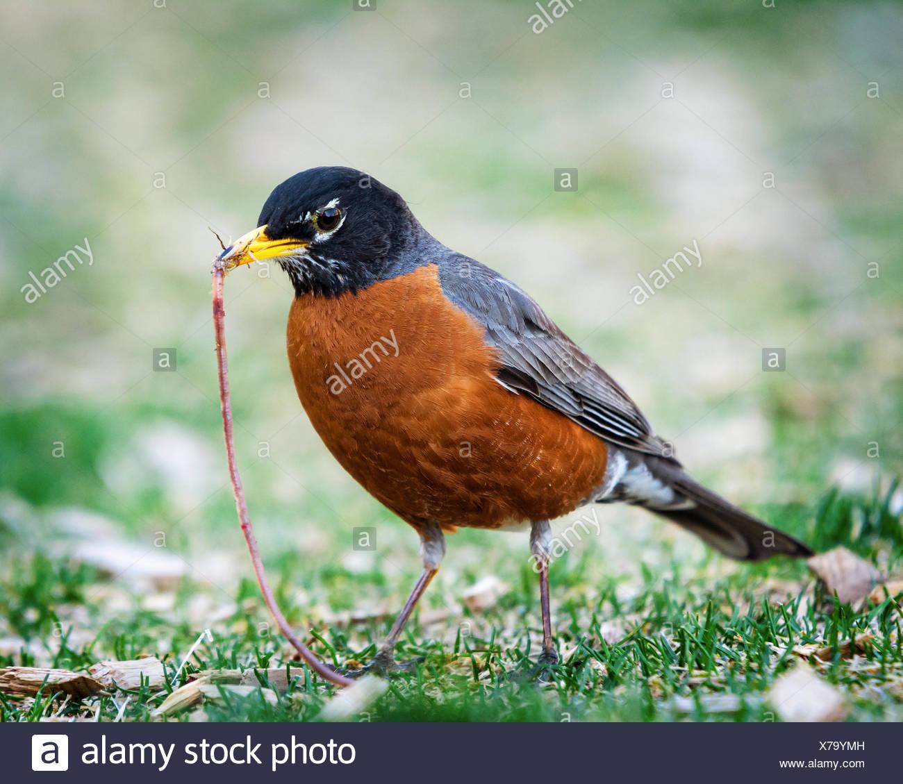 Robin avec un ver dans la bouche de c Photo Stock