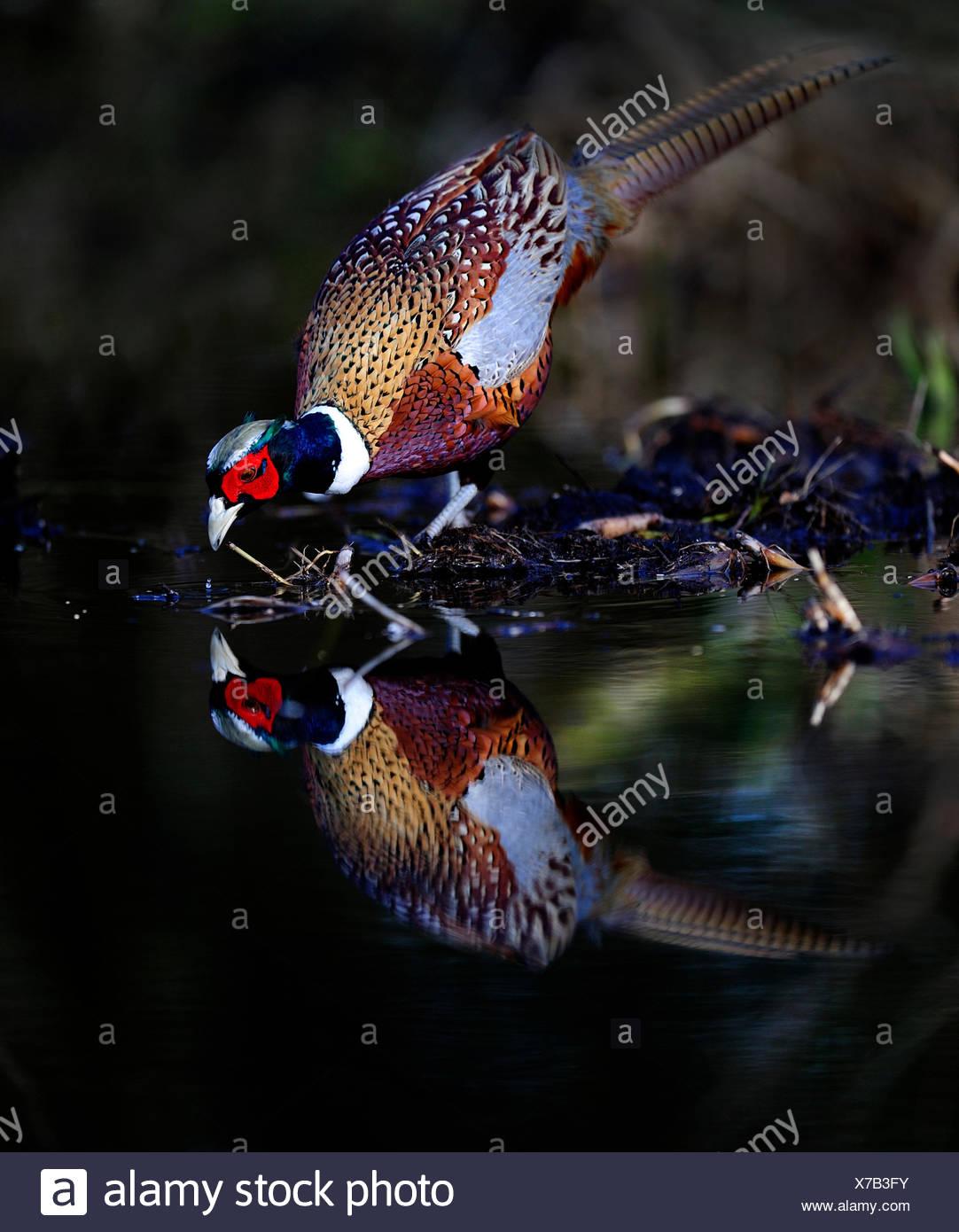 Mâle Faisan de Colchide Phasianus colchicus boire à Norfolk piscine bois Photo Stock
