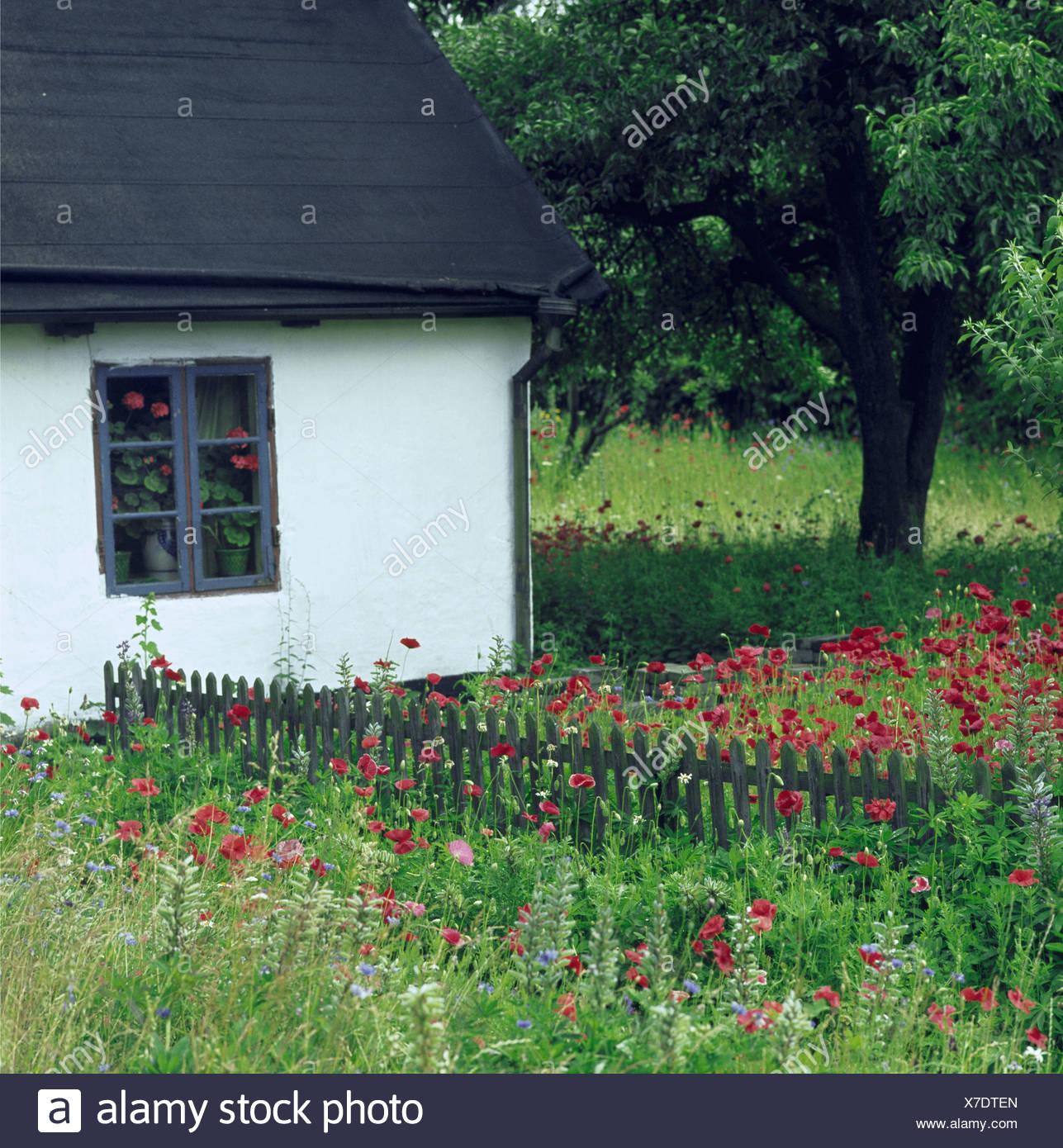 Coquelicots rouges et faible en clôture de bois rustique pays ...