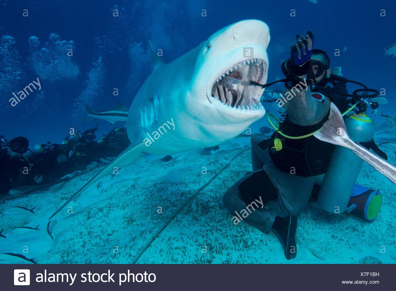 L'alimentation à la main de maître de plongée shark bull femelle, Playa del Carmen, Quintana Roo, Mexique Photo Stock