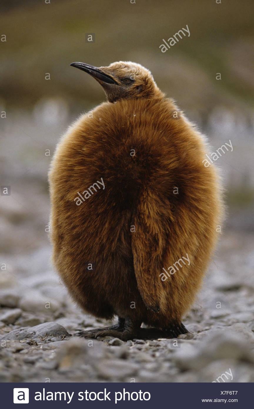 L'île de Géorgie du Sud de l'Atlantique du Sud Antarctique Aptenodytes patagonicus King penguin chick Banque D'Images