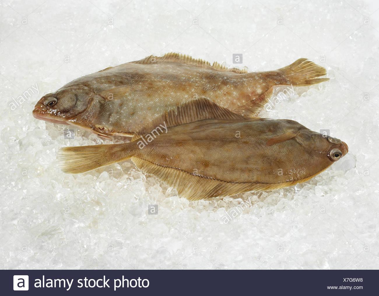 Fresh Brill, Scophthalmus rhombus sur la glace Banque D'Images