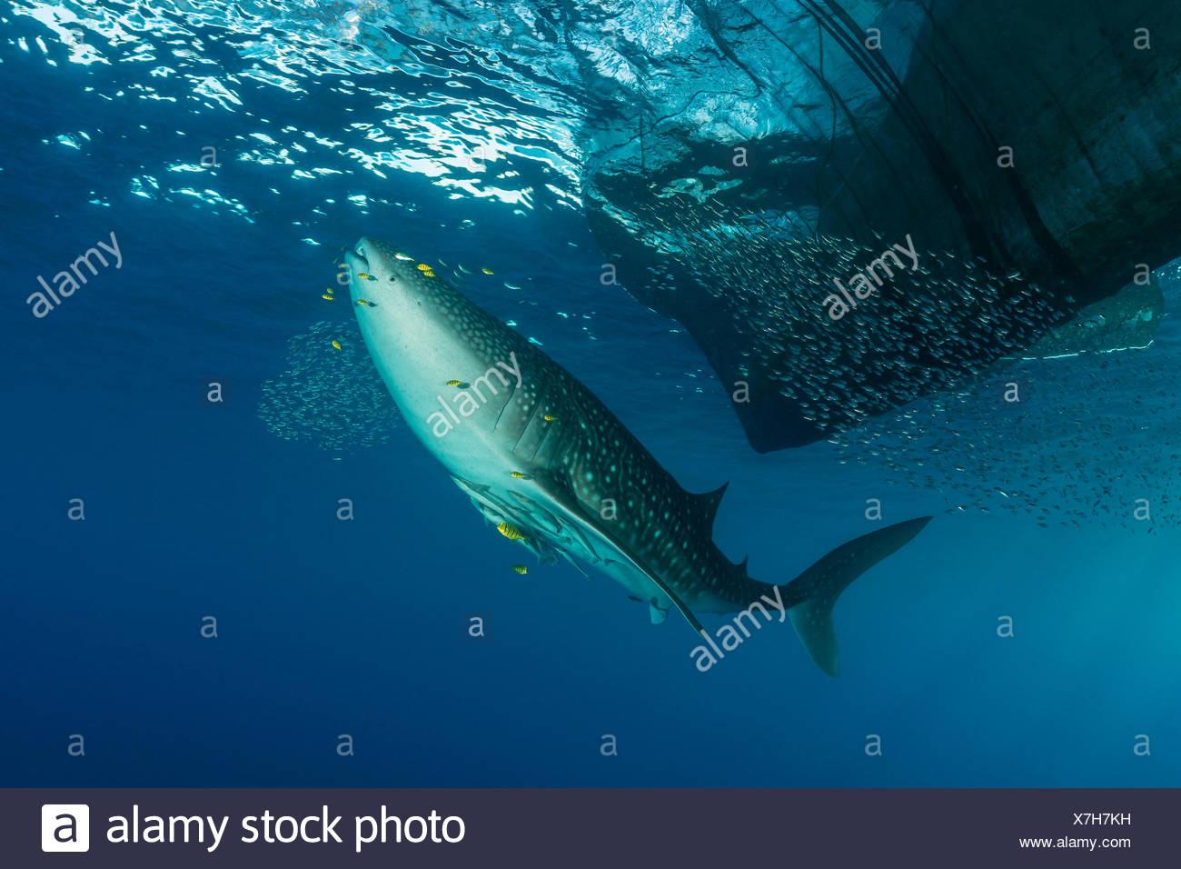 Sous la plate-forme de pêche au requin-baleine, Rhincodon typus, Cenderawasih Bay, en Papouasie occidentale, en Indonésie Photo Stock