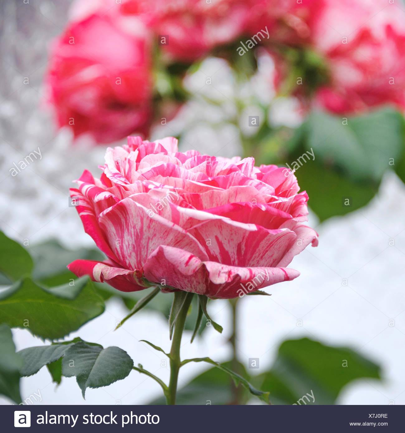 Nostalgie-Rose (Rosa 'Meilleure Impression'), le cultivar meilleure impression Photo Stock