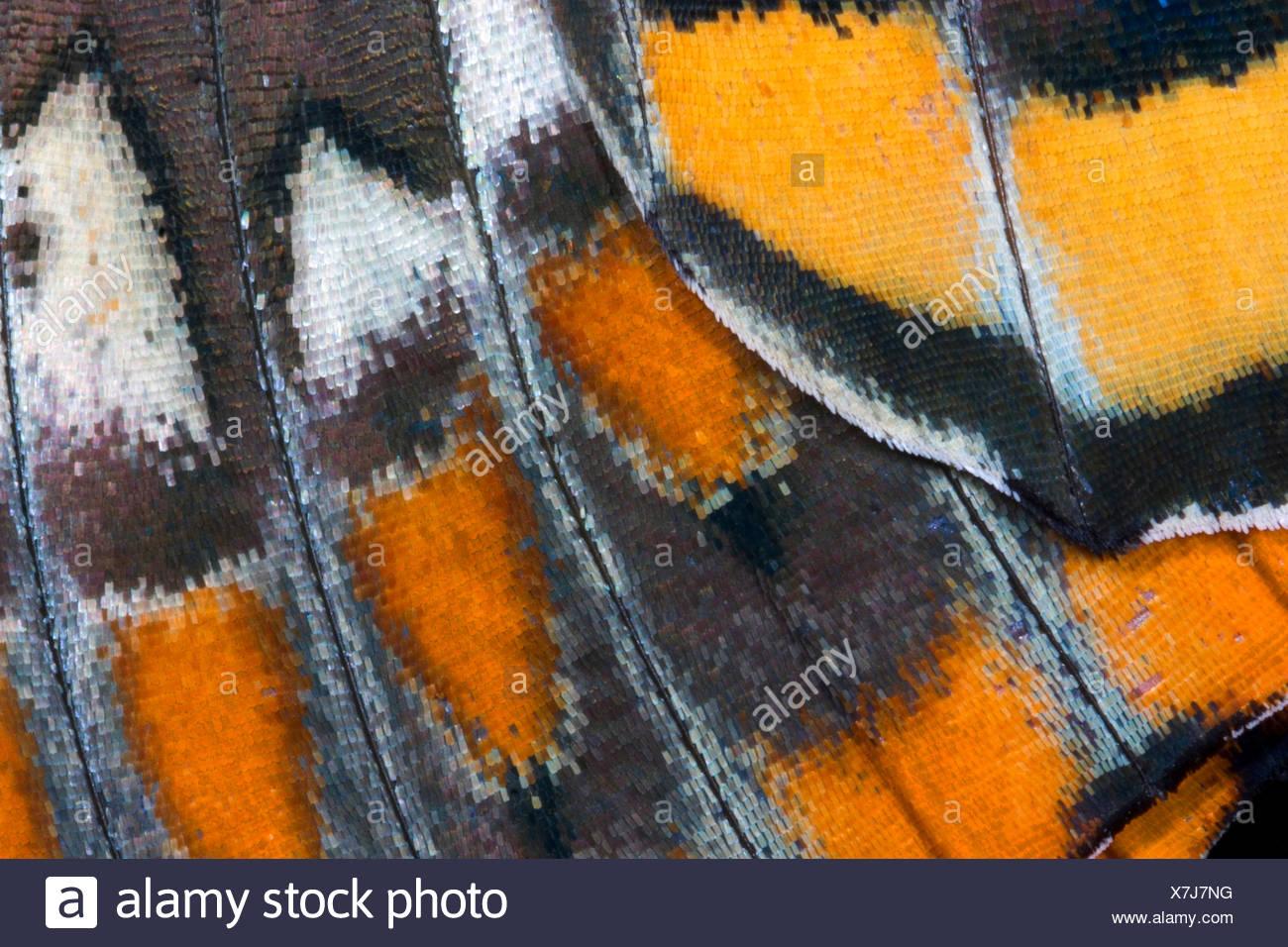 Pacha à deux queues, Foxy Charaxes jasius (Empereur), échelles, motif aile de l'aile Photo Stock