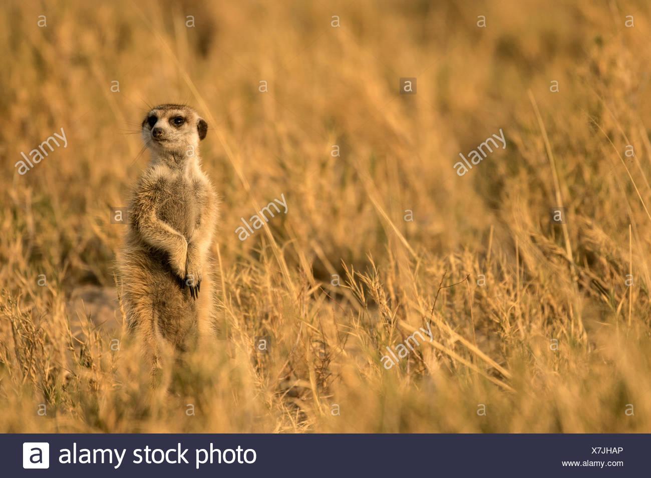 Un Kalaharari meerkat dans le Desert's Makgadikgadi Pan. Photo Stock