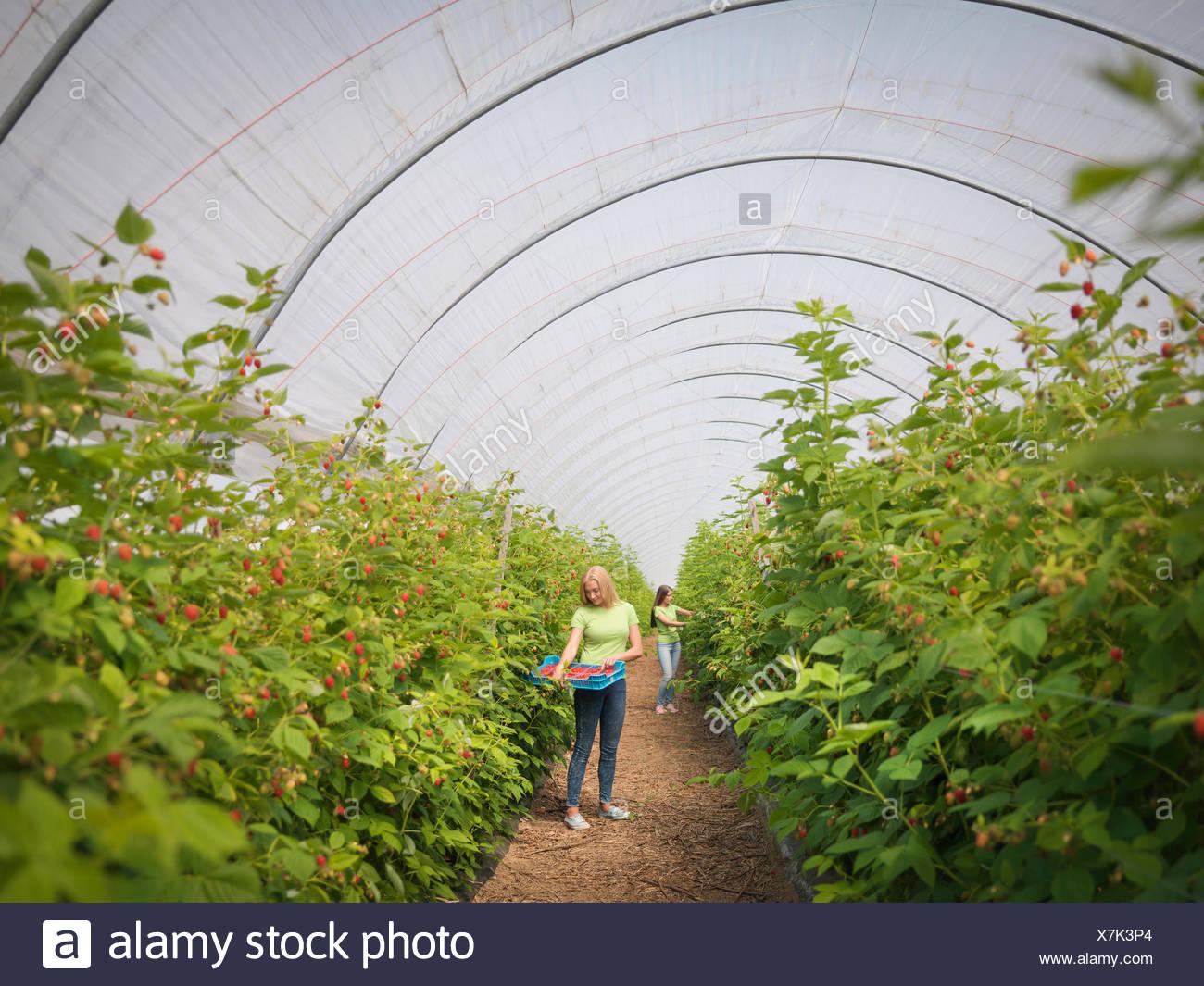 Cueillette de framboises dans les travailleurs de la ferme de fruits Photo Stock