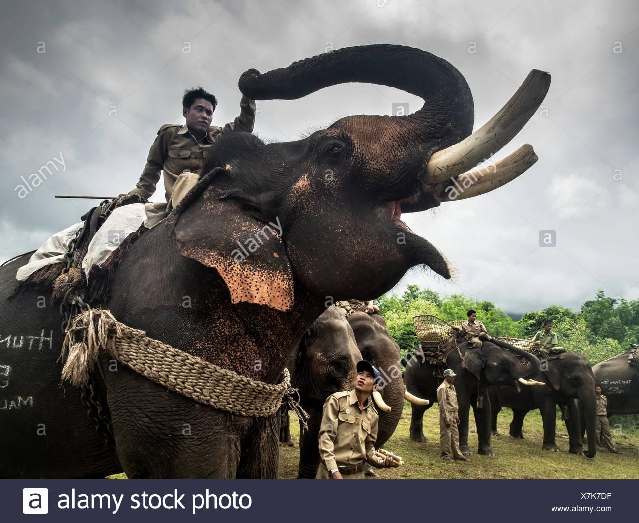 Un ranger rides un éléphant d'Asie, Elephas maximus. Photo Stock
