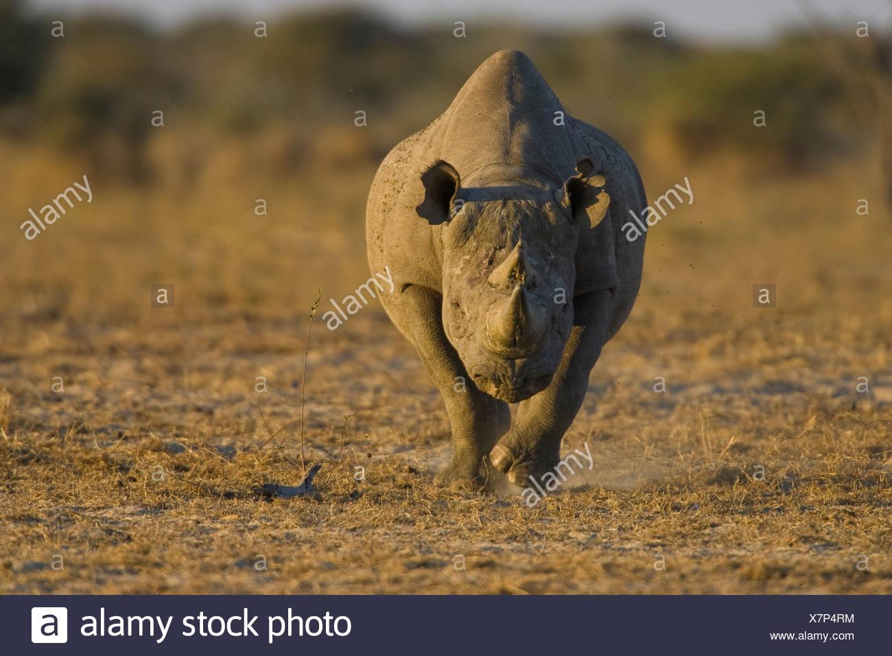 Les rhinocéros noirs, Etosha National Park, Namibie. Photo Stock