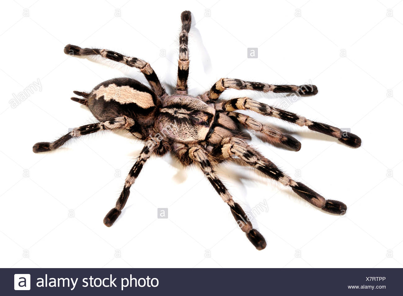 Pedersen (Poecilotheria pederseni ornementales), cut-out, Sri Lanka Photo Stock