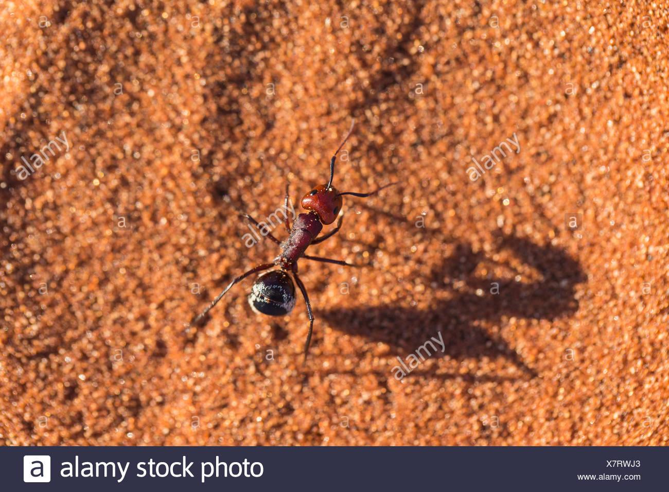 Désert du Namib dune ant Camponotus (détritus) Photo Stock
