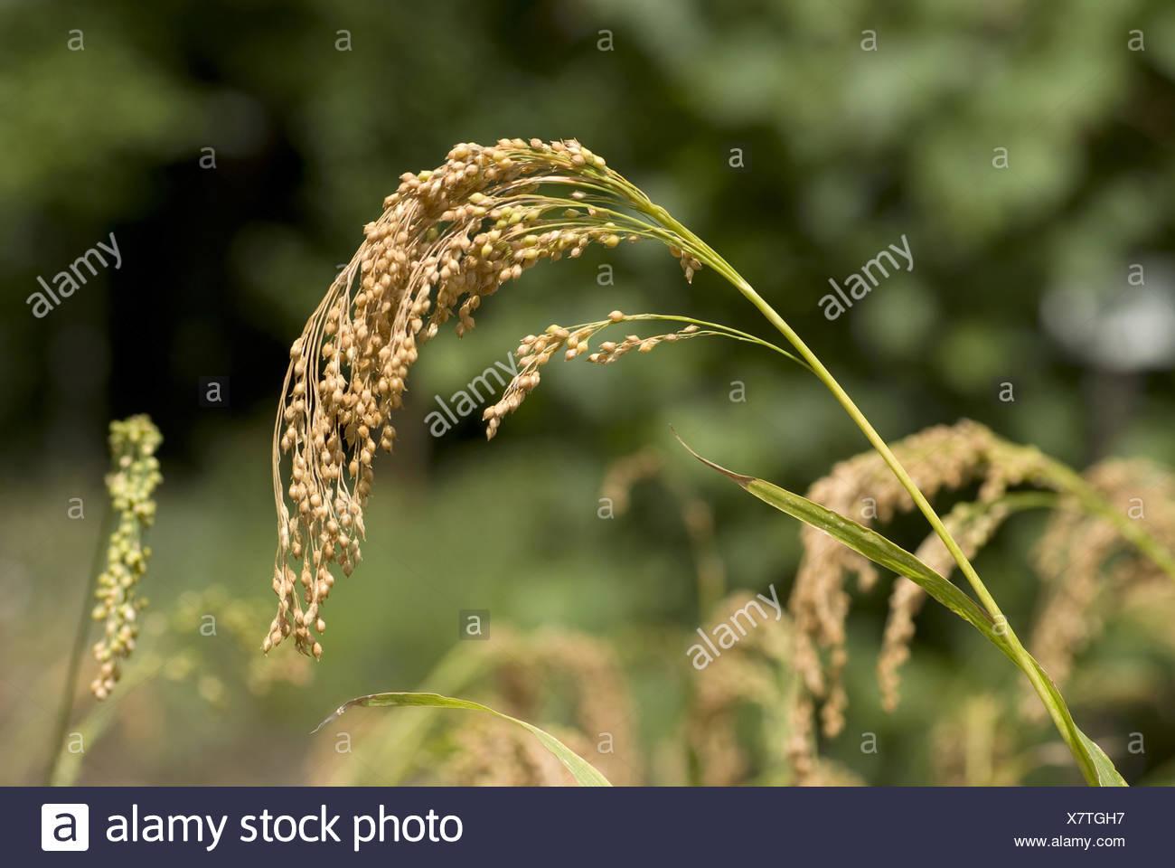 Le millet, Panicum miliaceum Photo Stock