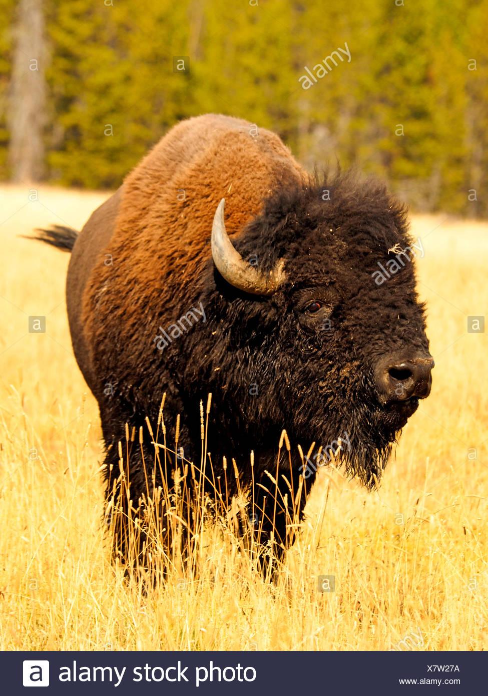 American bison, Bison (Bison bison), Bull, USA, Wyoming, Yellowstone National Park, Hayden Valley Banque D'Images