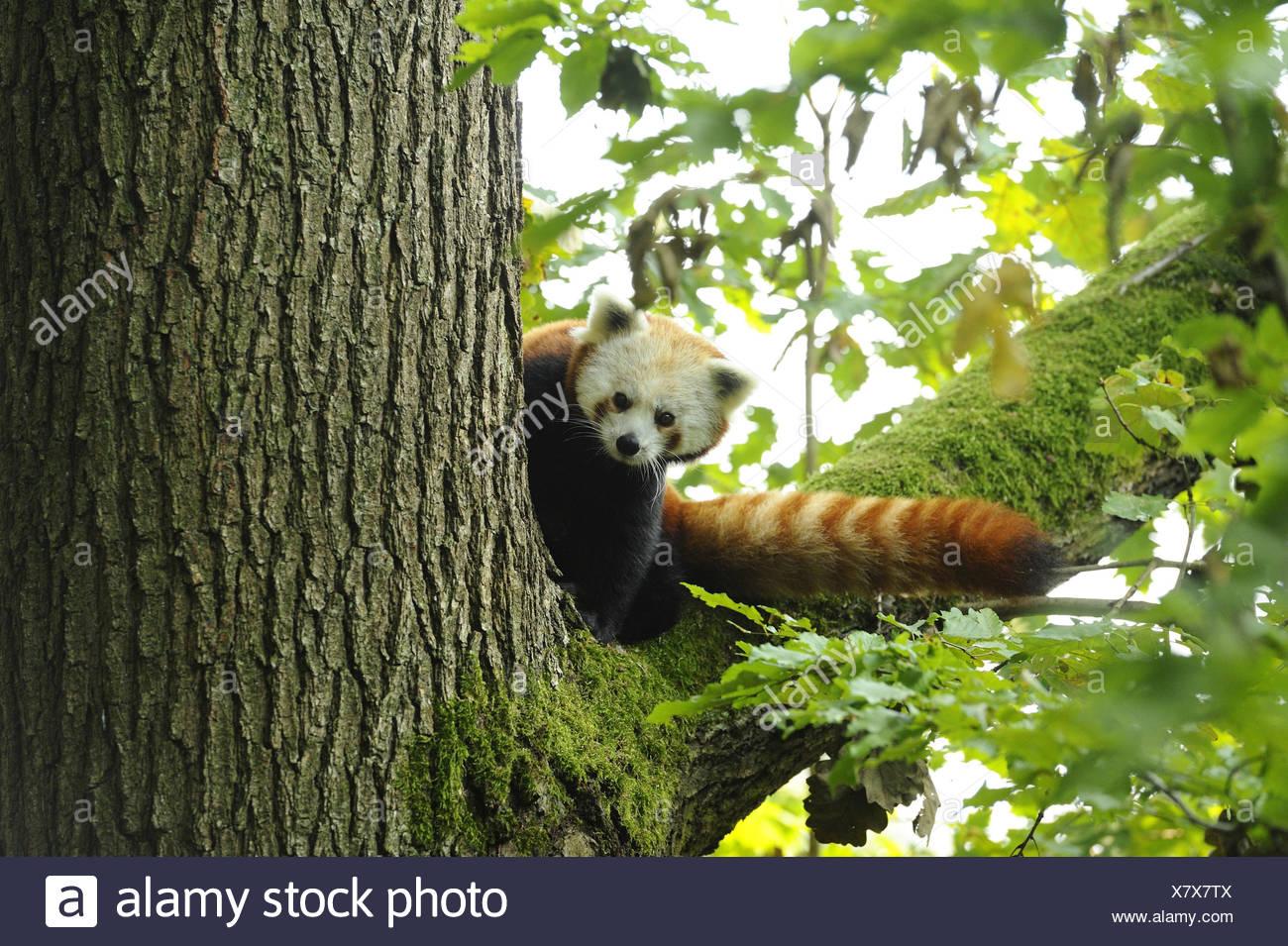 Le panda rouge, Ailurus fulgens, tronc, branche, assis, de face, looking at camera, Photo Stock