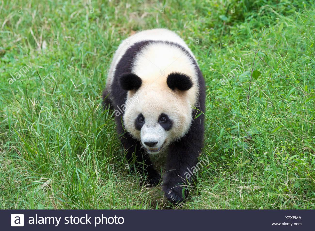 Panda géant (Ailuropoda melanoleuca), de la Chine et de Conservation Centre de recherche pour les pandas géants, Chengdu, Sichuan, Chine Photo Stock