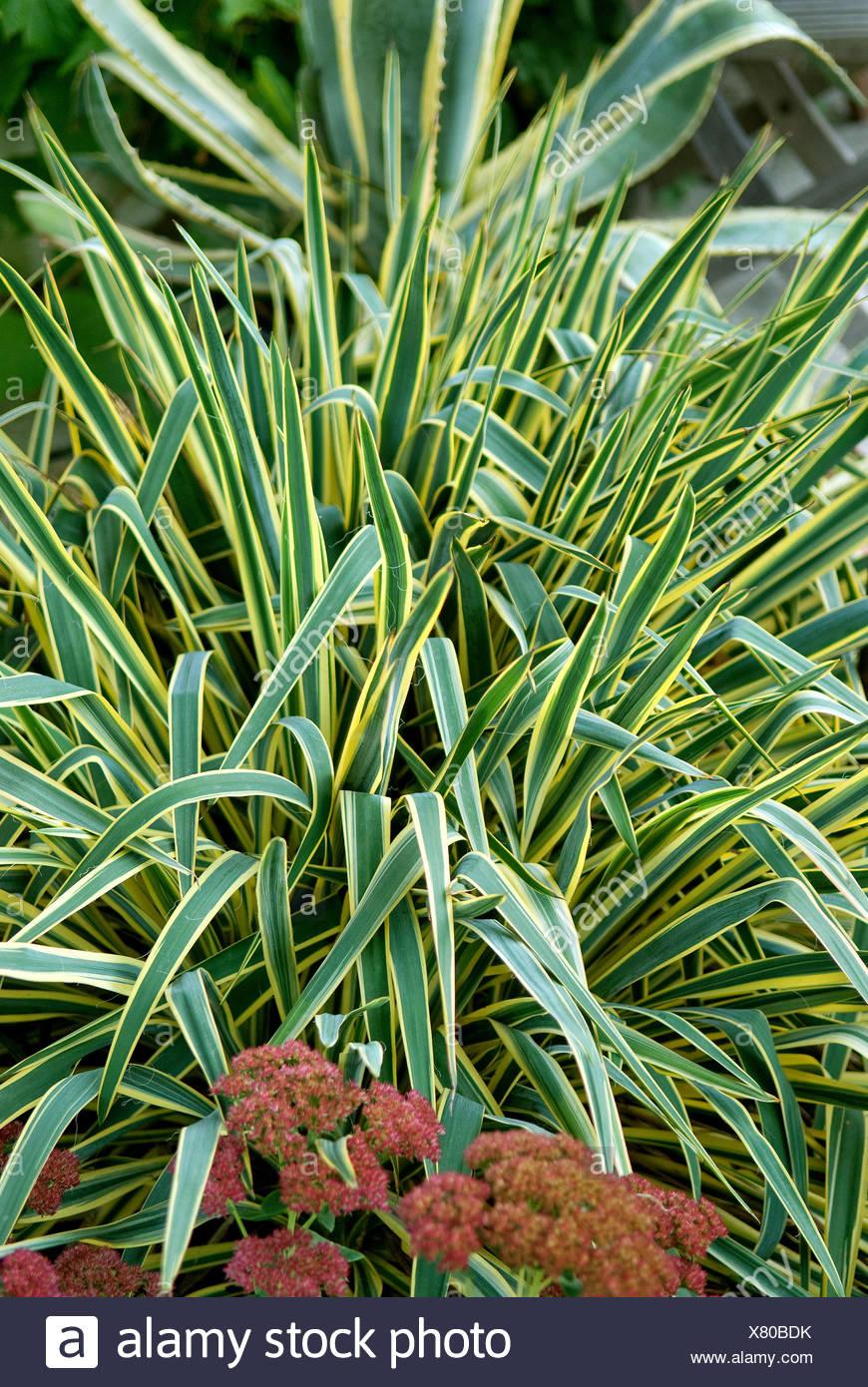 Aiguille d'Adam, la faiblesse des feuilles du yucca (Yucca filamentosa 'Bright Edge', Yucca filamentosa Bright Edge), le cultivar bord lumineux Photo Stock