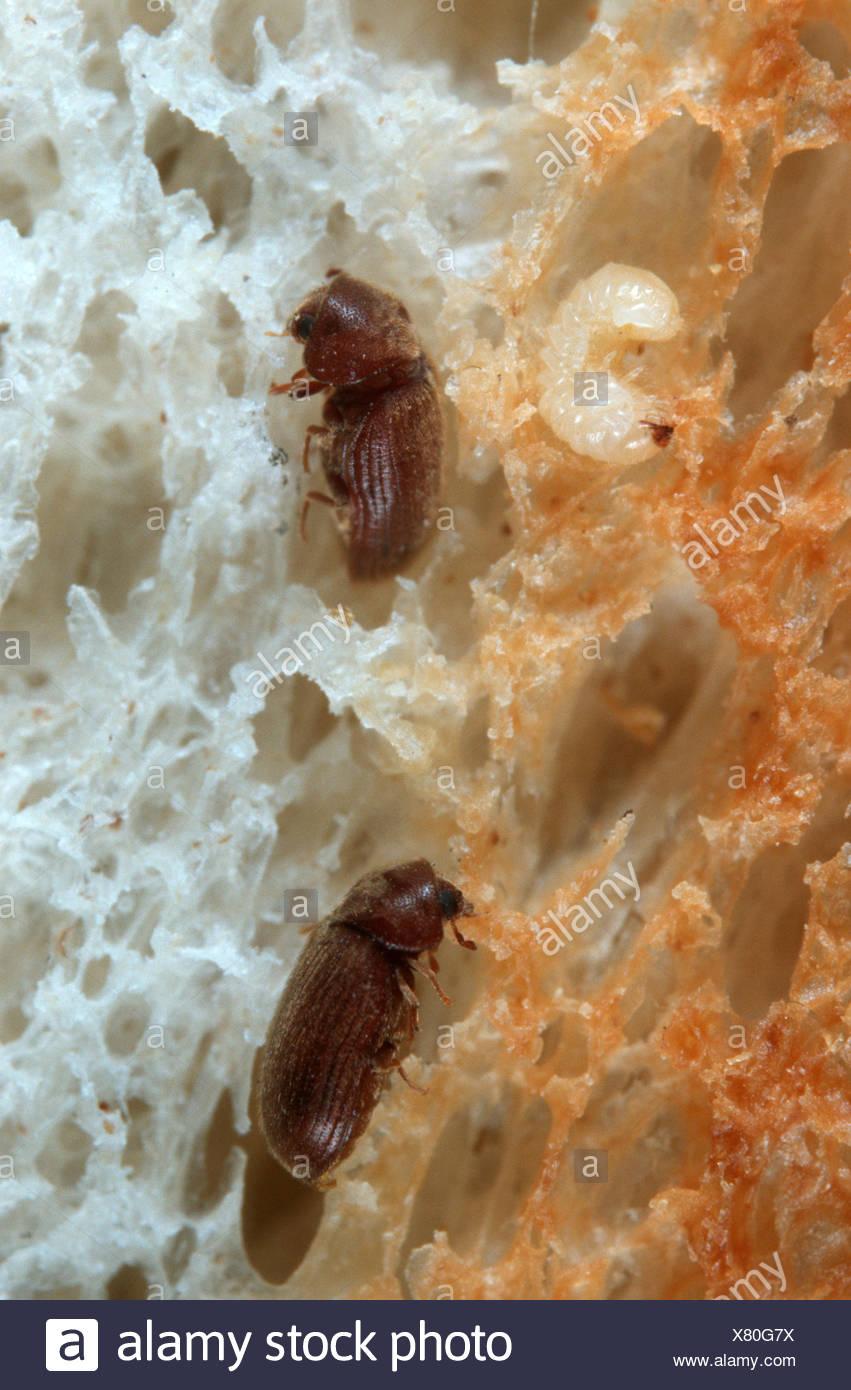 Drugstore beetle, drug store, charançon du pin, biscuit pain ponderosa Stegobium paniceum (coléoptère), et la larve en produites Photo Stock