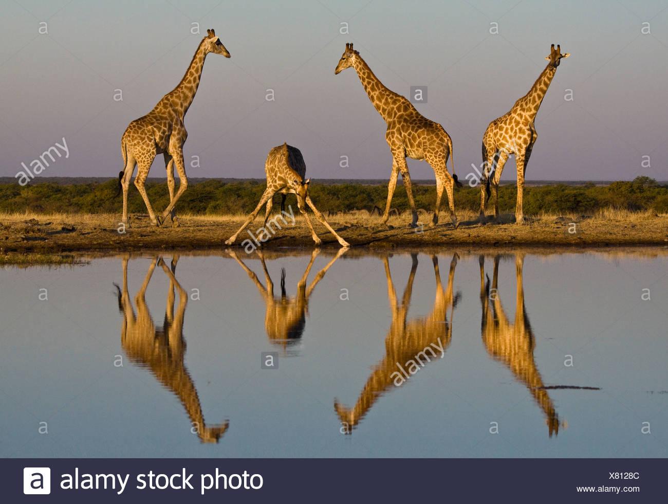 Girafe à trou d'eau, ce qui se reflète dans l'eau, d'Etosha, Namibie Photo Stock