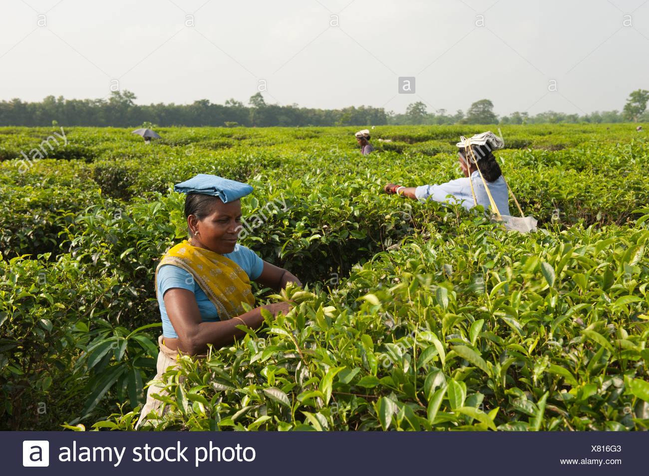 Les cueilleurs de thé au travail, près de Darjeeling, au Bengale occidental, en Inde, en Asie du Sud, Asie Photo Stock