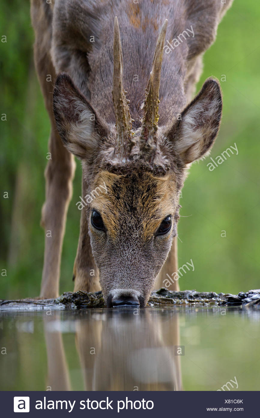 Le chevreuil (Capreolus capreolus) roebuck boire au point d'eau, de la forêt du Parc National de Kiskunság, Hongrie Photo Stock
