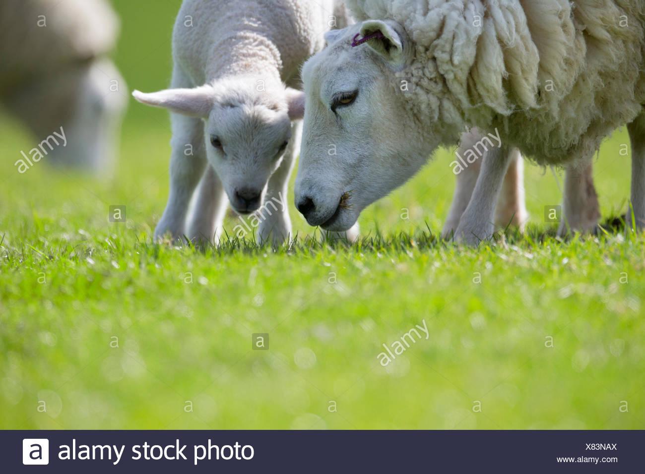 Mouton et agneau d'herbe de pâturage en vert Photo Stock