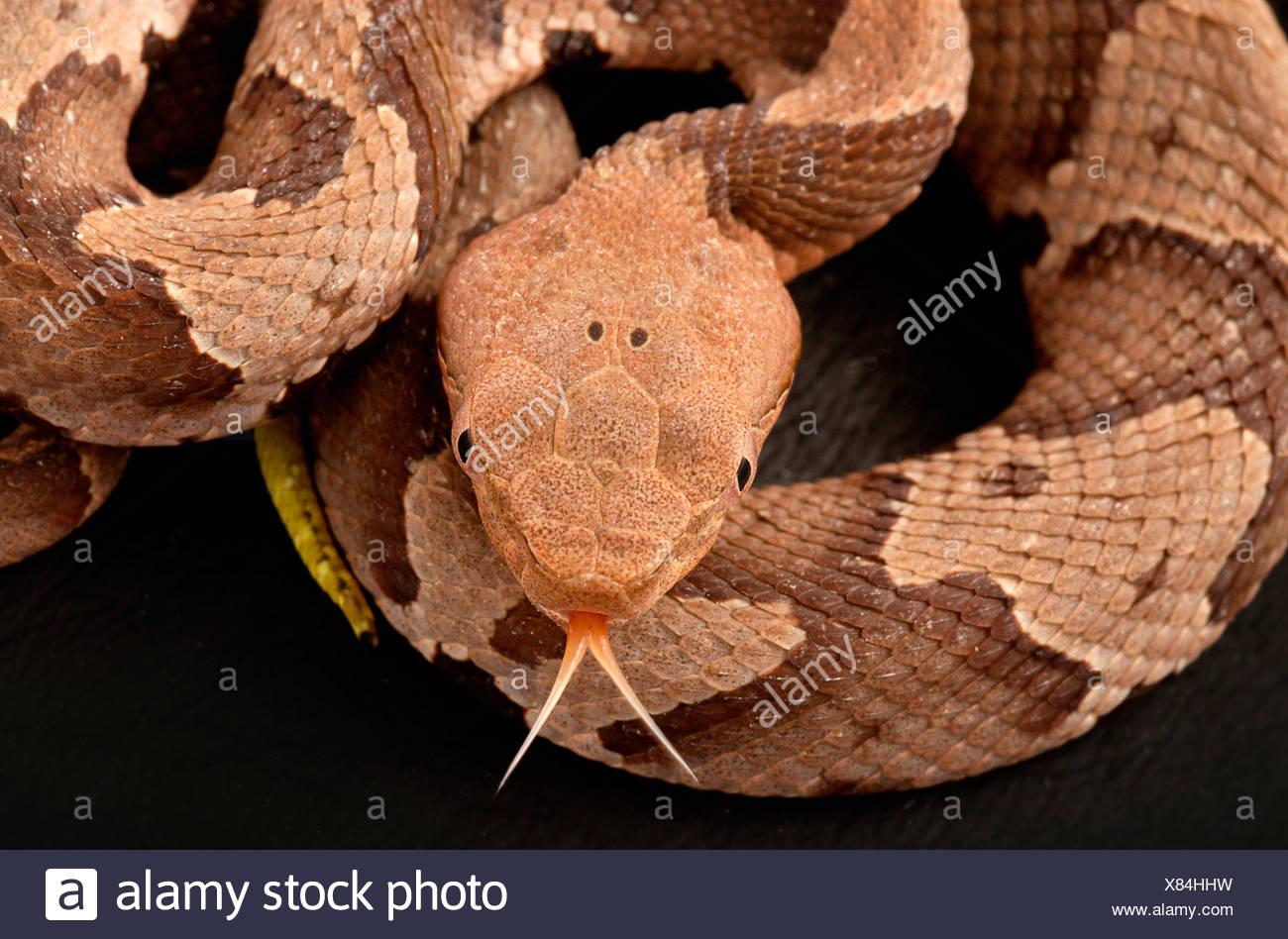 Le sud du serpent Agkistrodon contortrix copperhead, Photo Stock