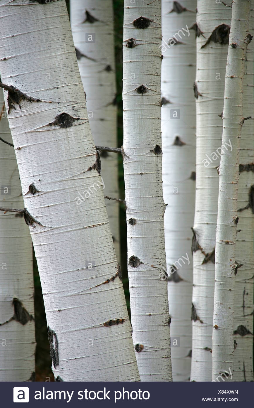 Close-up de troncs d'arbres dans la région de aspen grove en Alberta, Canada Photo Stock