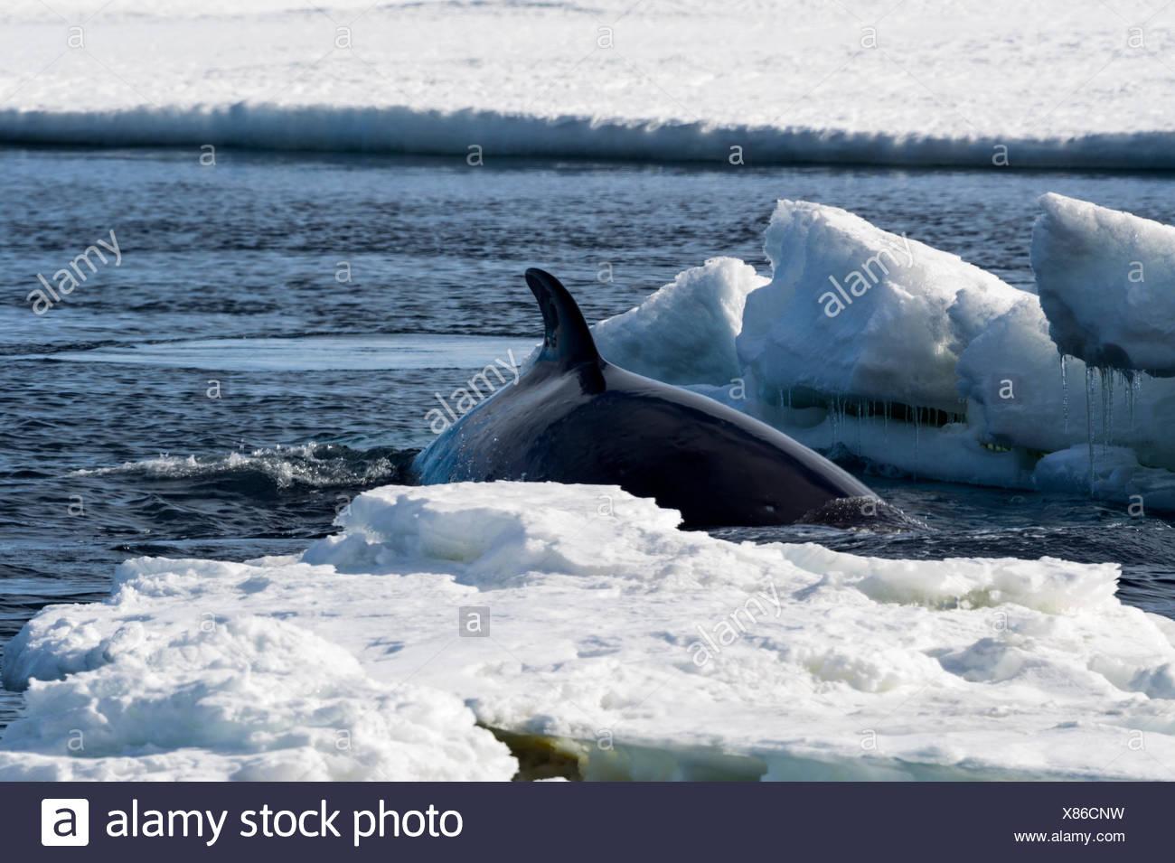 La nageoire dorsale d'un petit rorqual nager dans un trou dans la glace de mer. Photo Stock