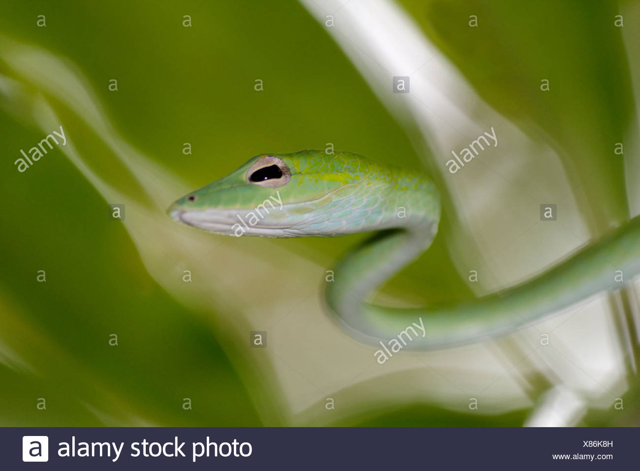 Serpent bec long, long-nez, whipsnake whipsnake Oriental (Ahaetulla prasina), le serpent crowls grâce à un arbre, la Thaïlande, le parc national de Khao Lak Banque D'Images