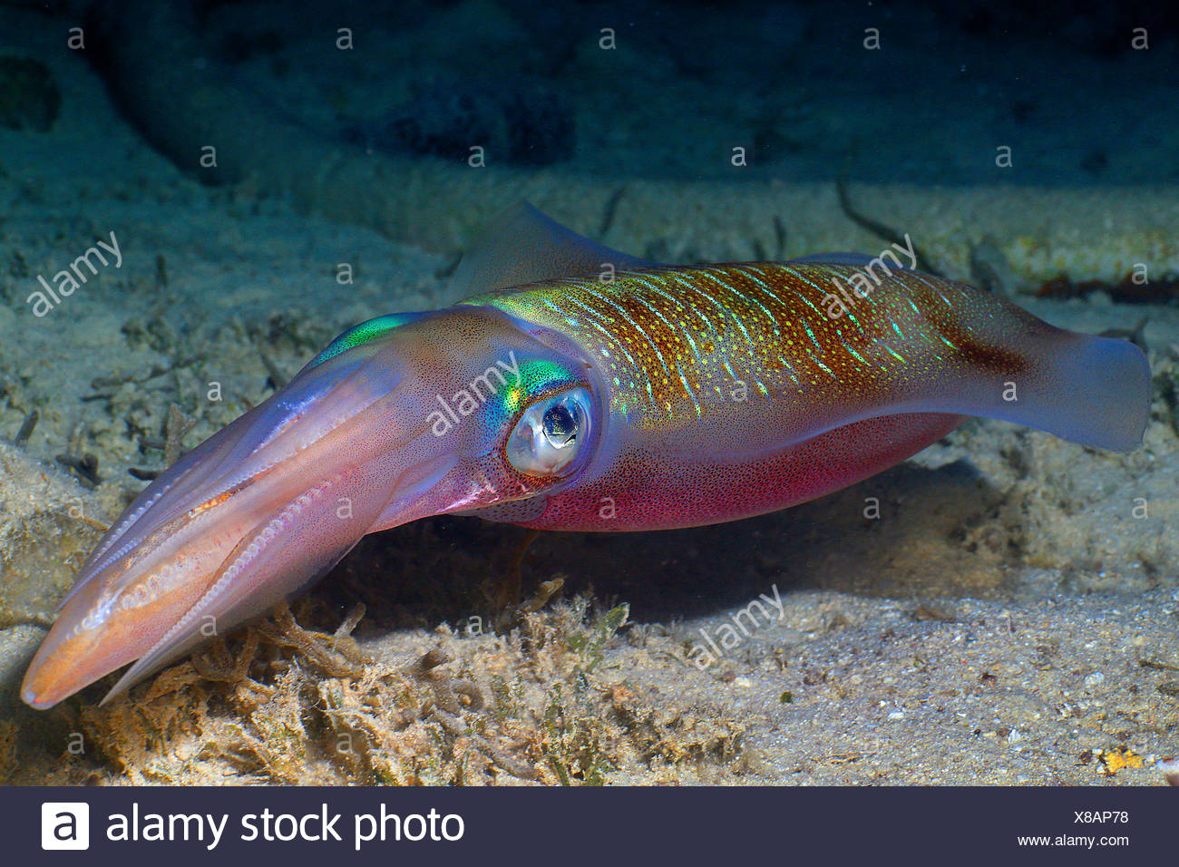 Bigfin reef (Sepioteuthis lessoniana squid), nage au-dessus du fond de la mer, l'Égypte, Mer Rouge, Hurghada Banque D'Images