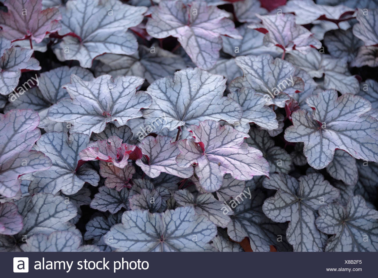 Heuchère (Heuchera 'Smotifs King', Heuchera Seasons King), le cultivar Roi Saisons Photo Stock
