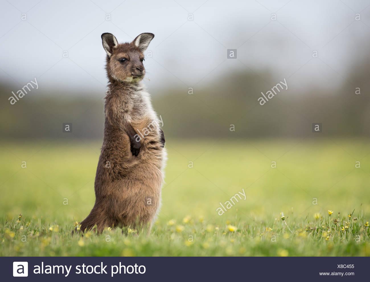 Un kangourou gris de l'ouest de Joey, Macropus fuliginosus, debout dans l'herbe. Photo Stock