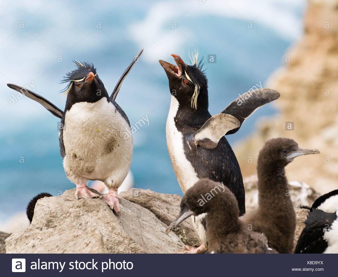 Gorfous sauteurs, Eudyptes chrysocome, Îles Falkland, îles subantarctiques, Amérique du Sud Photo Stock