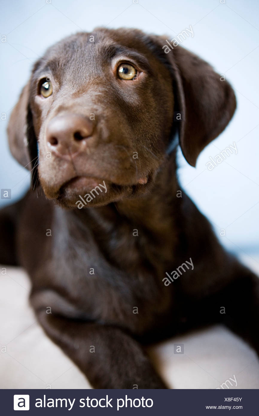 chiot brun Photo Stock