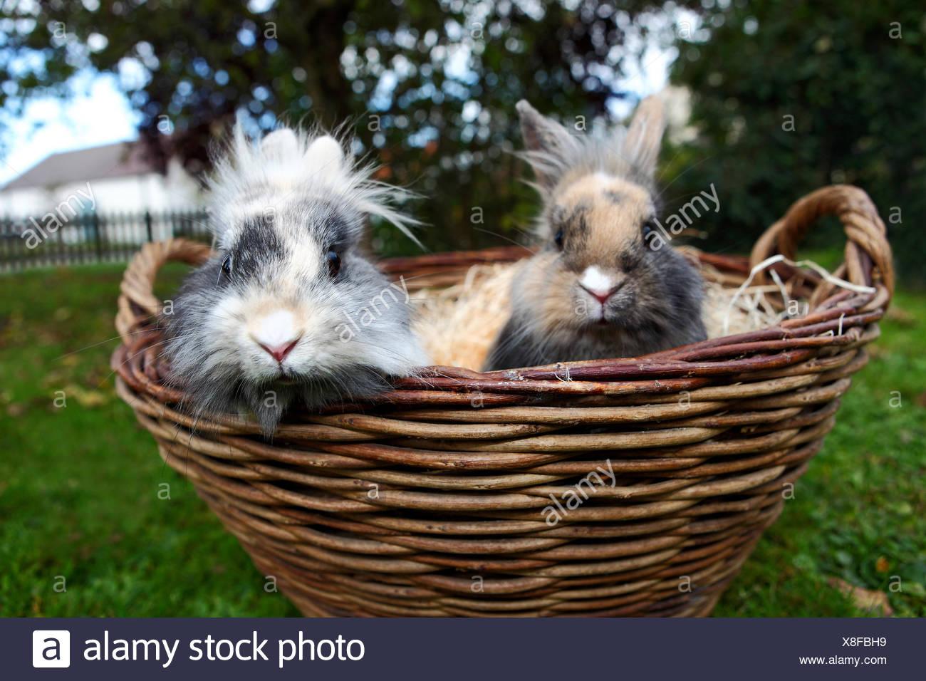 Les Jeunes lapins tête de lion dans un panier Banque D'Images