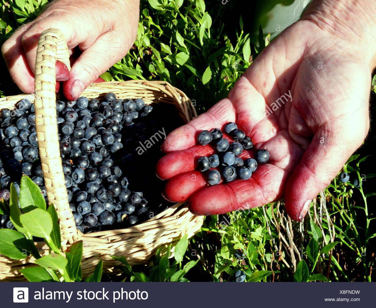 https://c8.alamy.com/compfr/x8fndw/main-femme-bleuets-myrtilles-baies-myrtilles-recueillir-recueillir-blue-x8fndw.jpg