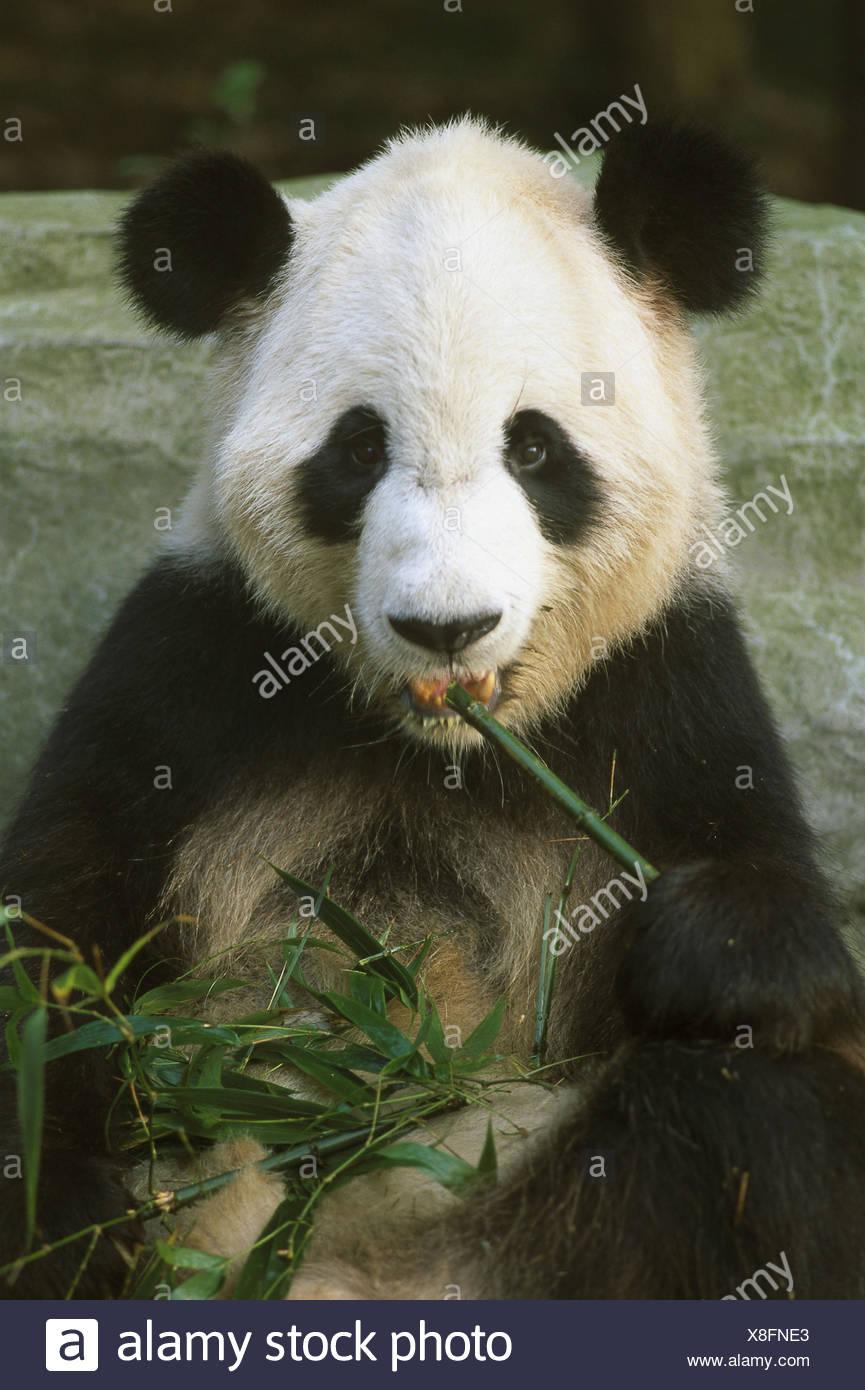 Chine, province du Sichuan, Chengdu, Centre d'élevage, panda panda géant, Ailuropoda melanoleuca, portrait de l'Asie, l'Asie orientale, du zoo, de l'élevage, de reproduction du panda, Züchtung, animal, animaux, mammifères, de mammifères marins, ours, ours, grand panda, tallness de panda, panda, panda, panda, panda géant, herbivore, bambou, manger, ingestion, fourrure, noir et blanc, portrait des animaux Photo Stock