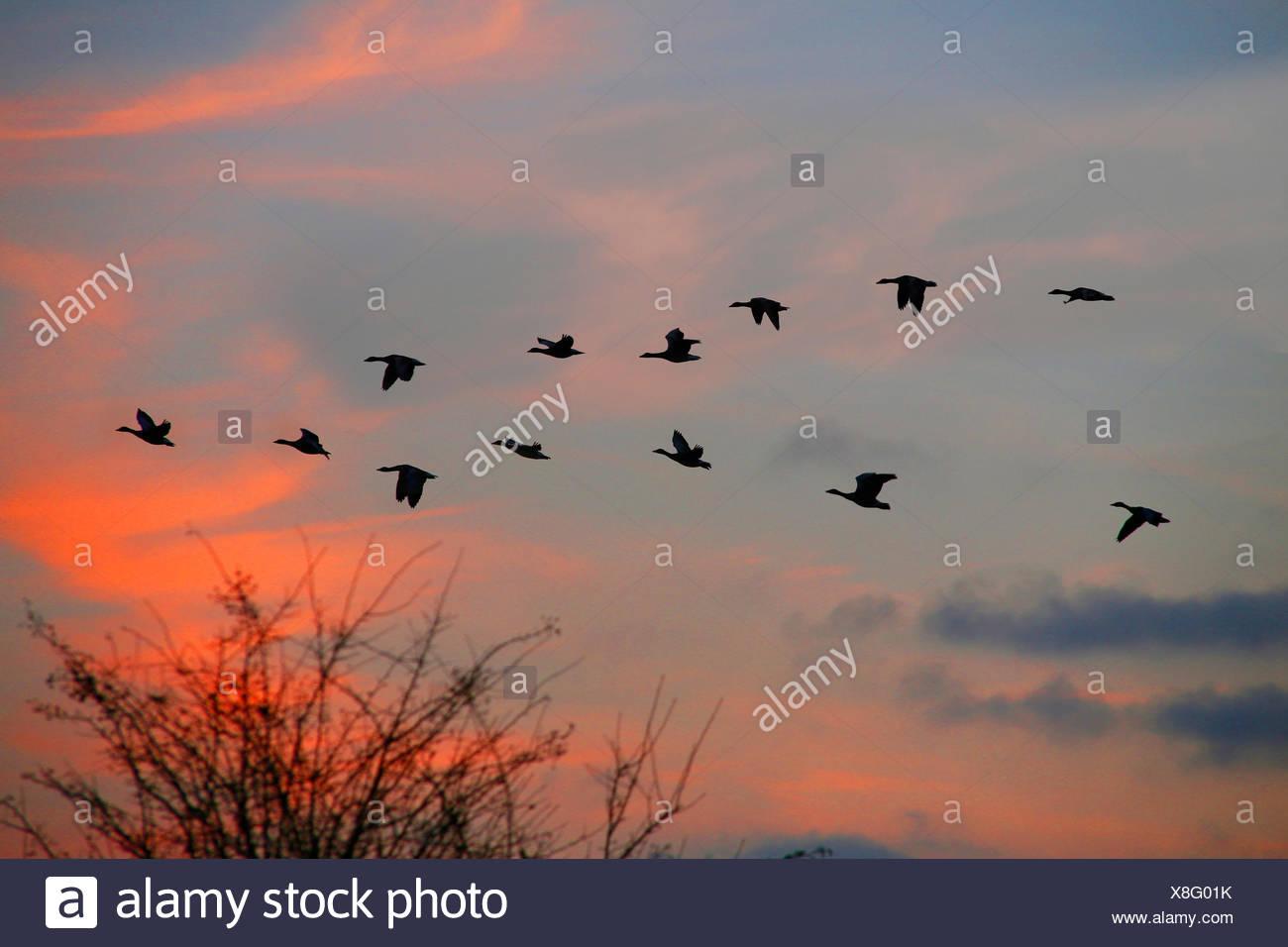 Oie cendrée (Anser anser), vol en formation au coucher du soleil, Allemagne Photo Stock