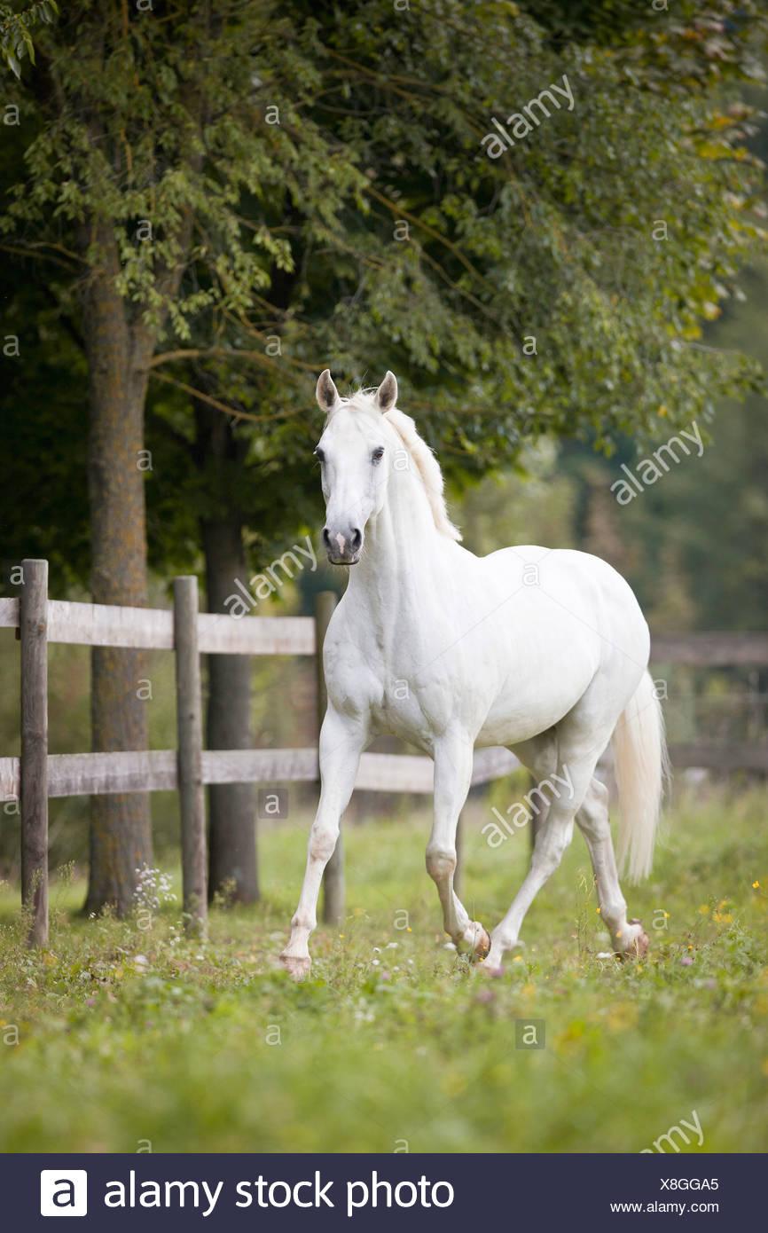 Cheval de selle français - Walking on meadow Photo Stock