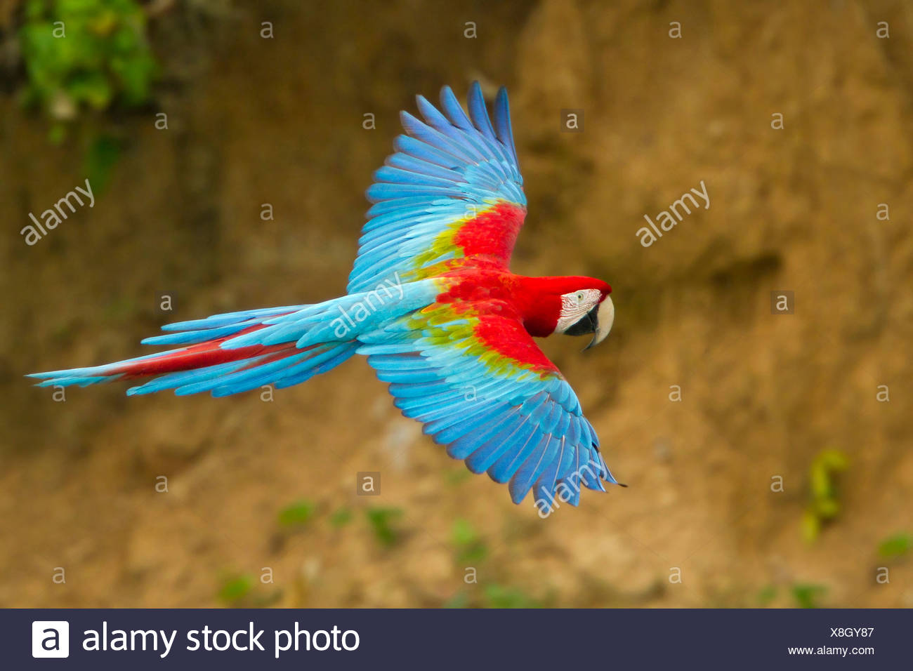 Le rouge et vert Macaw (Ara chloroptera) battant au Pérou. Photo Stock