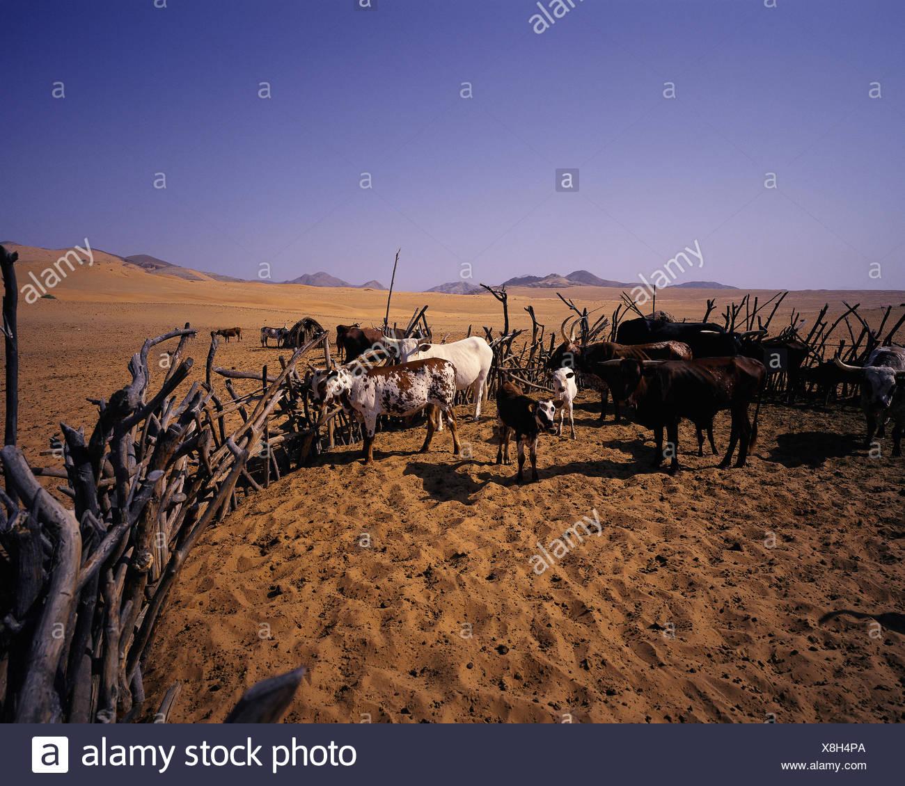 Kraal de bovins dans la région de la rivière Kunene, Namibie, Afrique Banque D'Images
