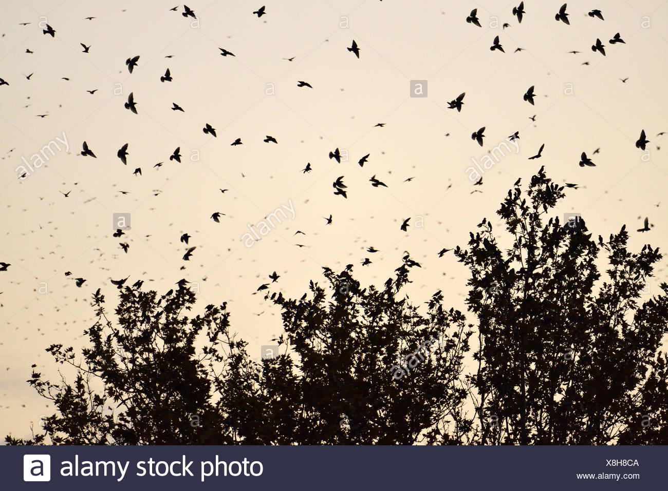 Troupeau d'oiseaux, de l'Étourneau sansonnet (Sturnus vulgaris) à l'égard de leur arbre de couchage, Italie Photo Stock